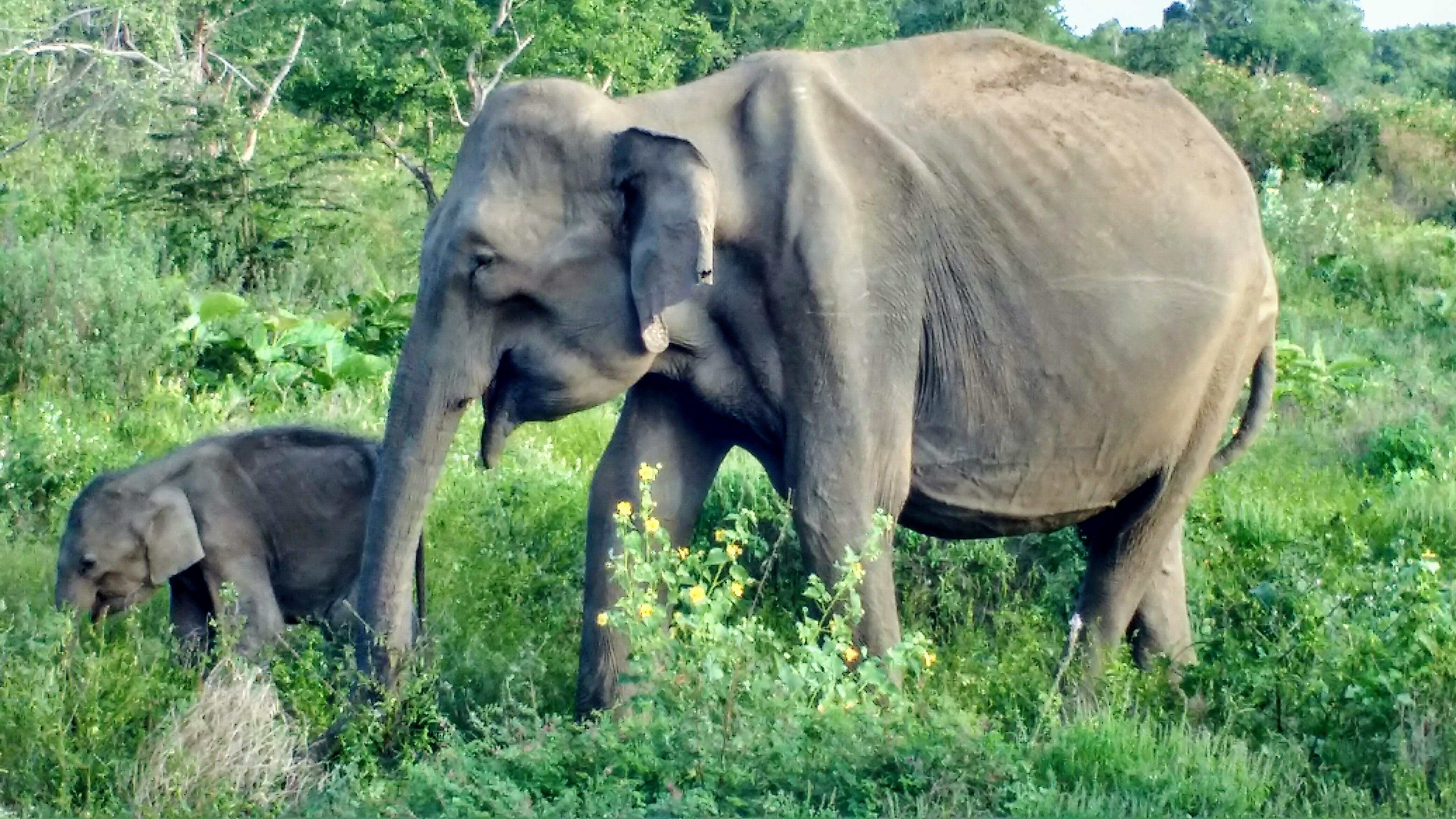 skinny elefant