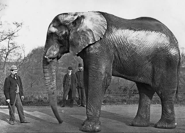 Jumbo african elephantbull