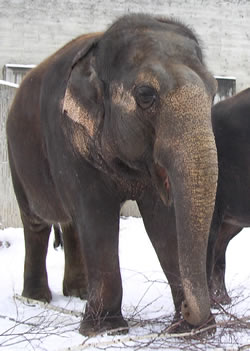 Asien elephant in the snow