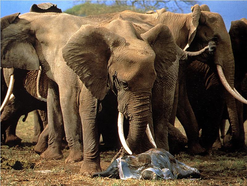 Birth of a wild african elephant