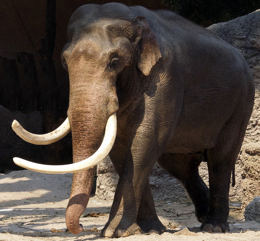"""Maxie"" the elephant bull zoo Zurich"
