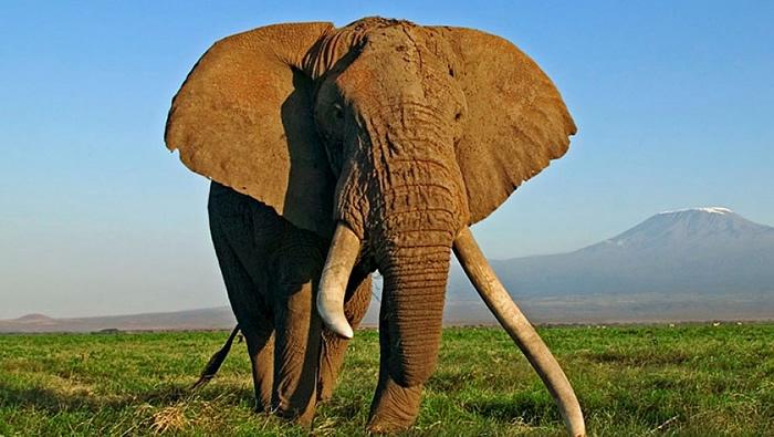 african elephantbull