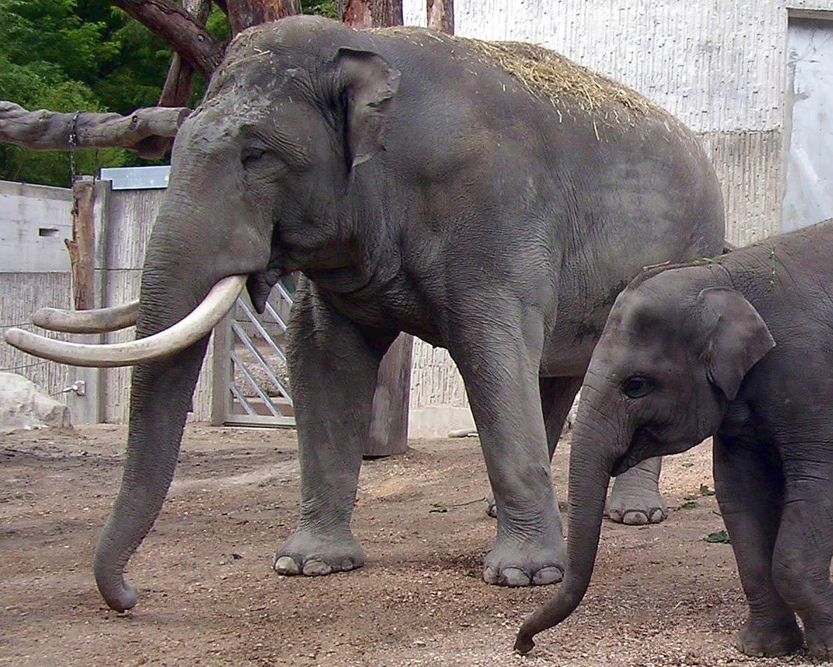Asien elephantbull
