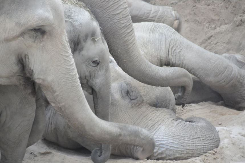 The zoo elephants say goodbye to their dead aunt Druk