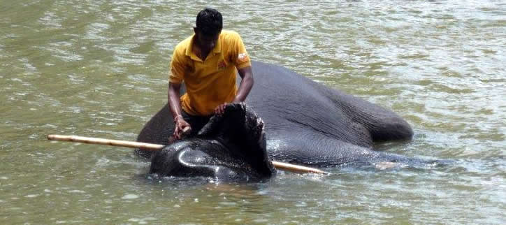 Bathing elephant in SriLanka