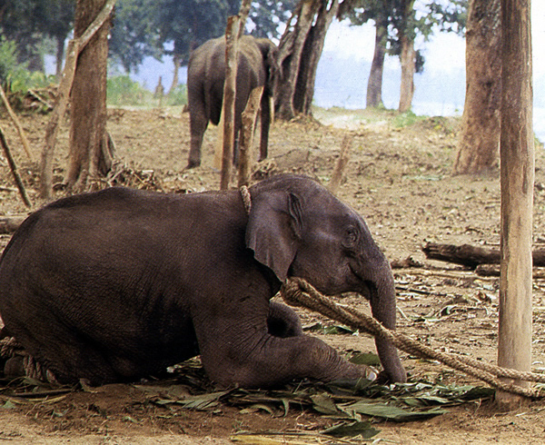 break in a young, wild elephant