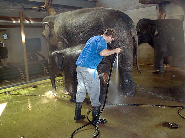 Daily washing of elephants in the zoo
