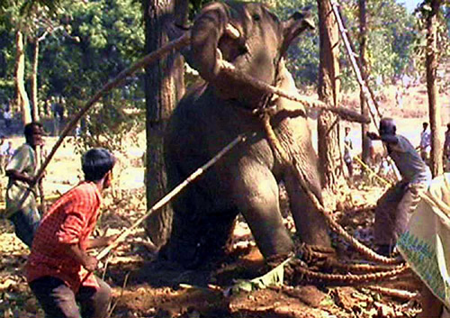 Musth at a working elephant