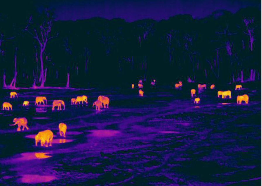 Forest elephants at night