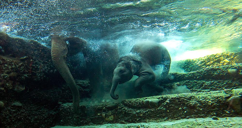 swimming and diving elephants. Black Bedroom Furniture Sets. Home Design Ideas