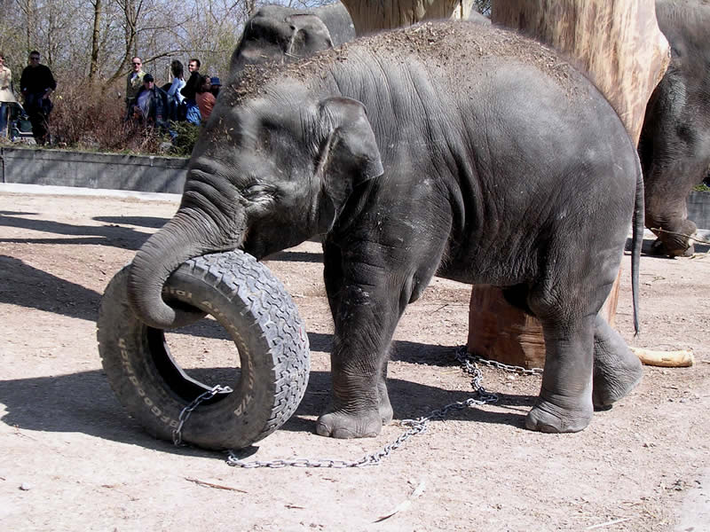 Young elephant Chandra struggles with the car tire