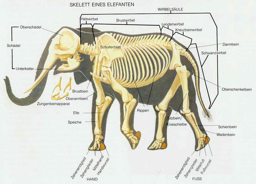 The elephant's skeleton