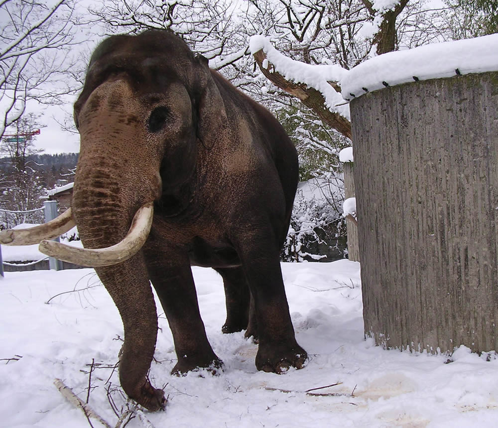 Elephant-bull Maxie in the snow