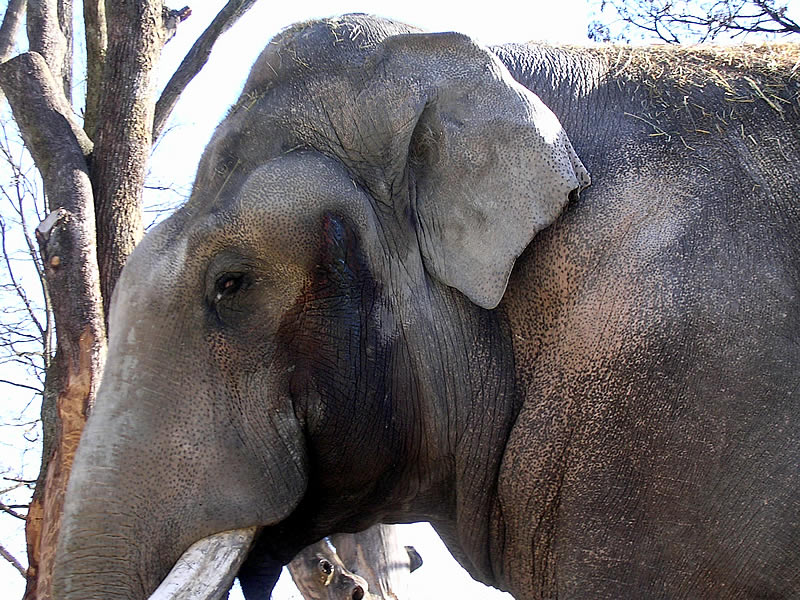 Elephantbull Maxie in Musth