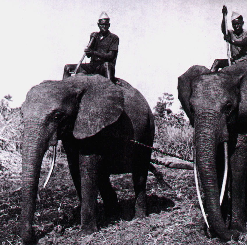 african working elephants