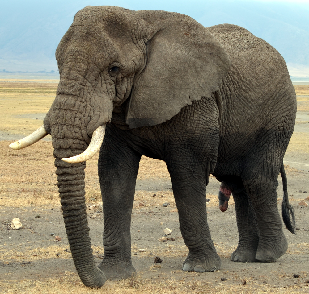 Differences between African and Asian Elephant – Upali.ch