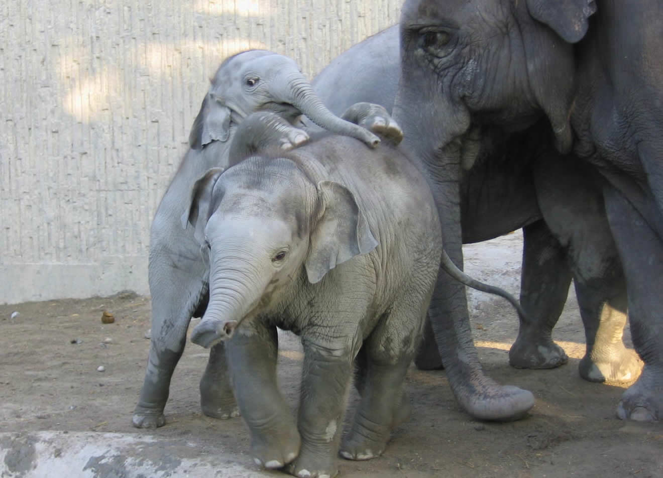 Playing elephant children