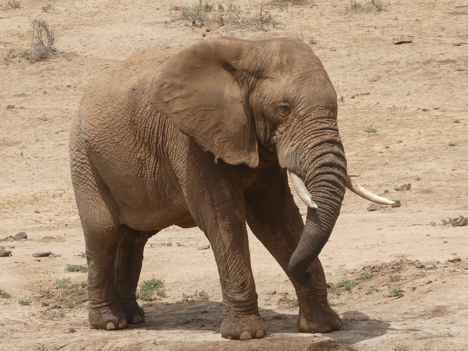Young African bull Elephant in South Africa